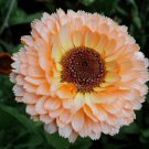 Calendula Pink Surprise 25 seeds * Herbal tea* Cut flower * Lovely * *SHIPPING FROM US* CombSH D41