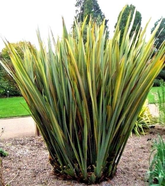 New Zealand Flax Phormium variegatum 10 seeds * Ornamental Grass * *SHIPPING FROM US* CombSH I55