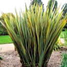 New Zealand Flax Phormium variegatum 10 seeds * Ornamental Grass * *SHIPPING FROM US* CombSH I55