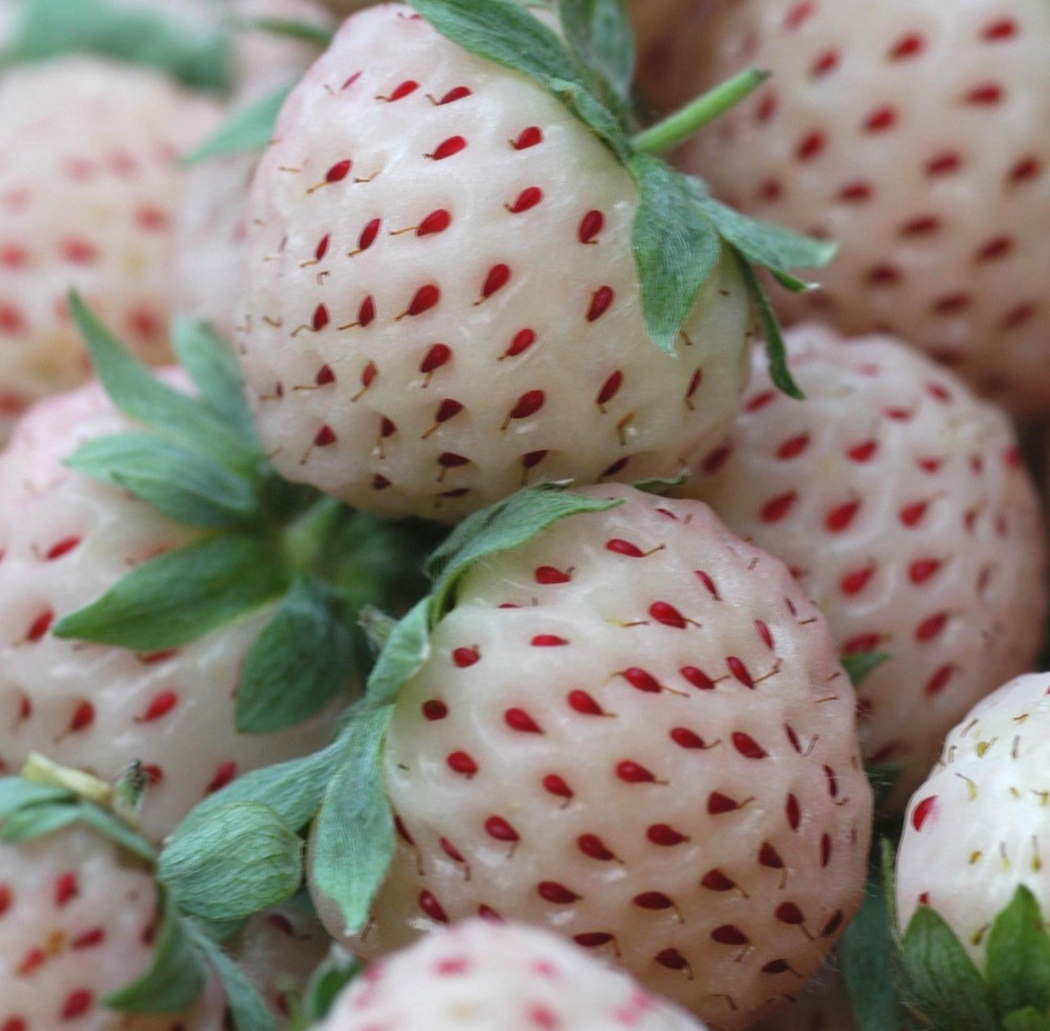 White Strawberry 50 seeds White Soul Strawberry Exotic * Rare * *SHIPPING FROM US* CombSH I51