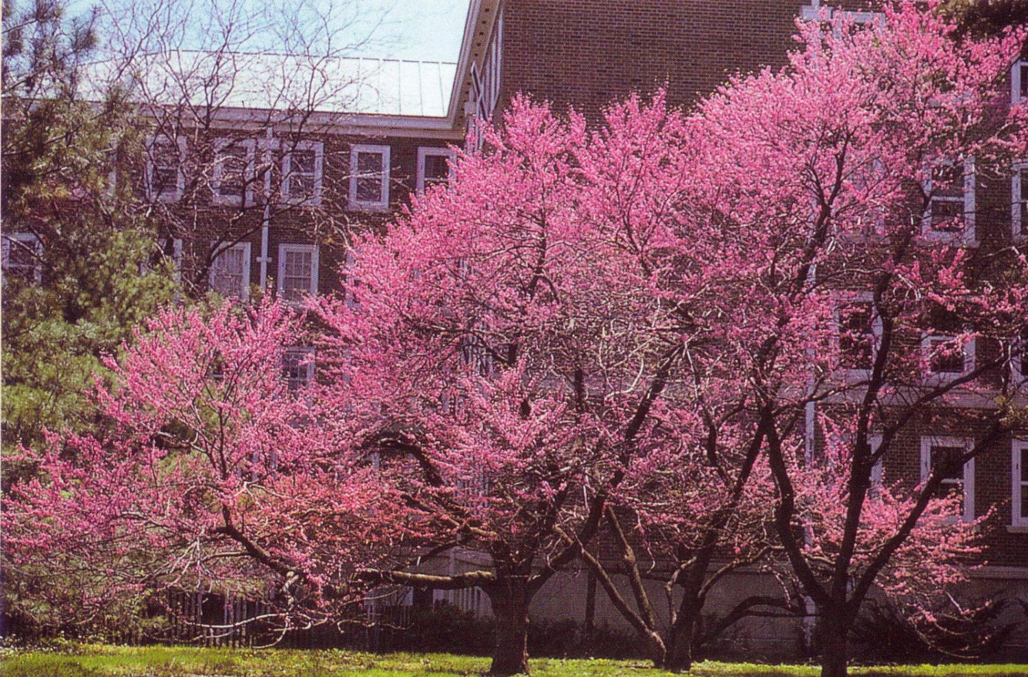 20 Eastern Redbud Tree seeds �Cercis canadensis�Ornamental Showy *SHIPPING FROM US* CombSH
