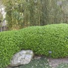 20 Chinese Boxwood seeds Buxus microphylla sinica Ornamental / Shrub *SHIPPING FROM US* CombSH M72