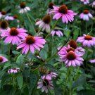 250 Purple Coneflower seeds Echinacea Purpurea  Flower / Herb Comb S/H A25