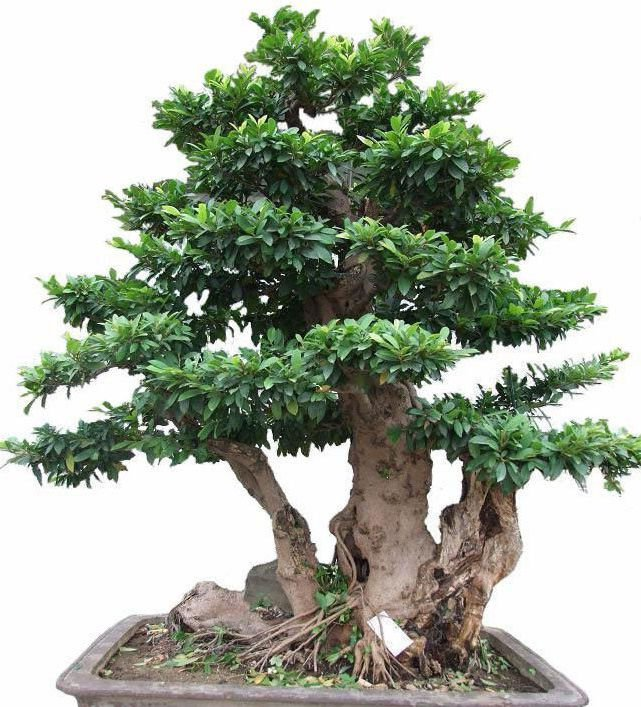 10 Distylium chinense seeds Ornamental /  Bonsai *SHIPPING FROM US* CombSH M66