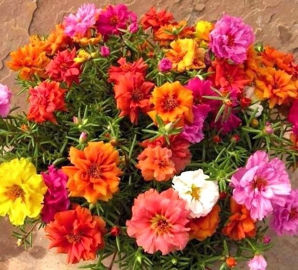 Moss Rose Double Portulaca Grandiflora mix color 1000 seeds *SHIPPING FROM US* CombSH B84
