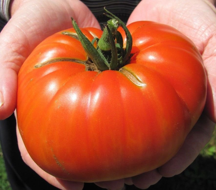 Beefsteak Tomato 100 seeds * Huge * Non GMO * ez grow * E73