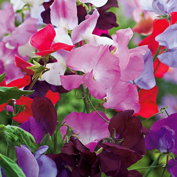 50 Sweet Pea , Early Multiflora Mix seeds * Colorful * Fragrant * *SHIPPING FROM US* CombSH M53