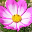 Cosmos Picotee 250 seeds * Easy grow * border * garden I18