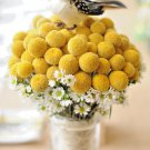 Yellow Billy Buttons 100 seeds *  Craspedia Globosa Flower  *SHIPPING FROM US* CombSH B83
