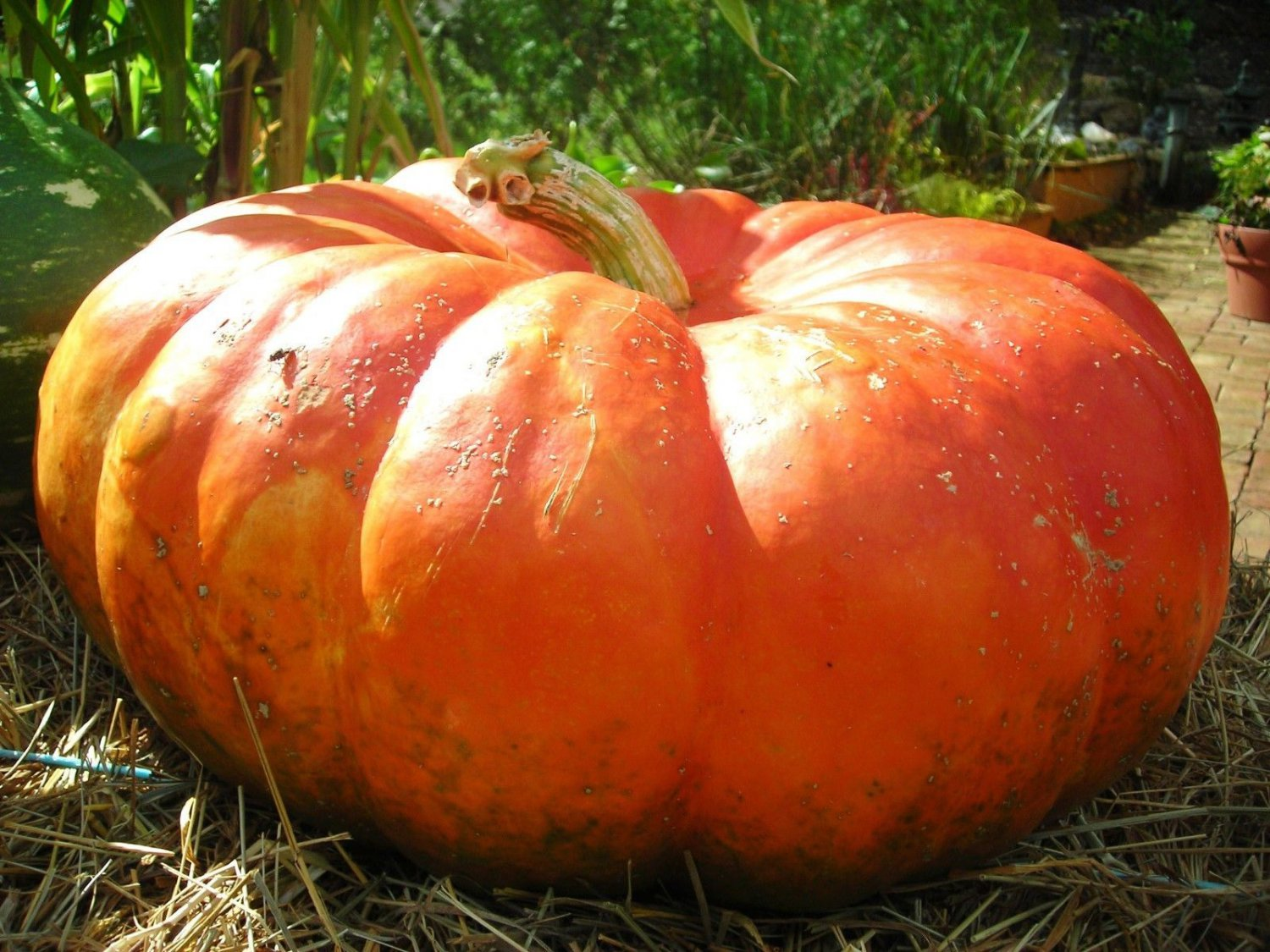 Cinderella pumpkin 10 seeds *Rouge Vif d�Etampes* Heirloom *Non GMO* *SHIPPING FROM US* CombSH G16