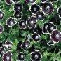 Pennie Black Flower 20 seeds Nemophila Discoidalis  Baby Black Eye *SHIPPING FROM US* CombSH A51
