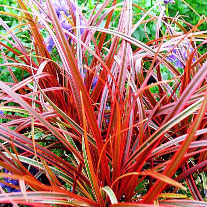 Fire dance Grass Uncinia Rubra 5 seeds * Ornamental Grass *  E67