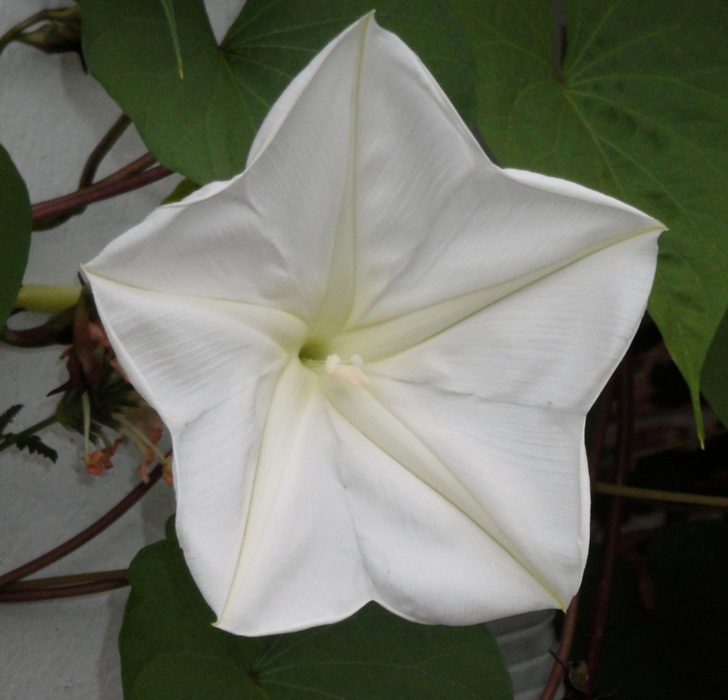 White Morning Glory 15 seeds Ipomoea Alba MoonFlower * Fragrant * *SHIPPING FROM US* CombSH C76