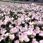 50 Pink Balloon Flower seeds Platycodon grandiflorus Rose Garden *SHIPPING FROM US* CombSH D28