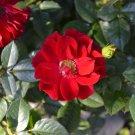 25 + Red rugosa rose seeds ( Rosa rugosa rubra deep  ) Hardy, Fast, Fragrant I88