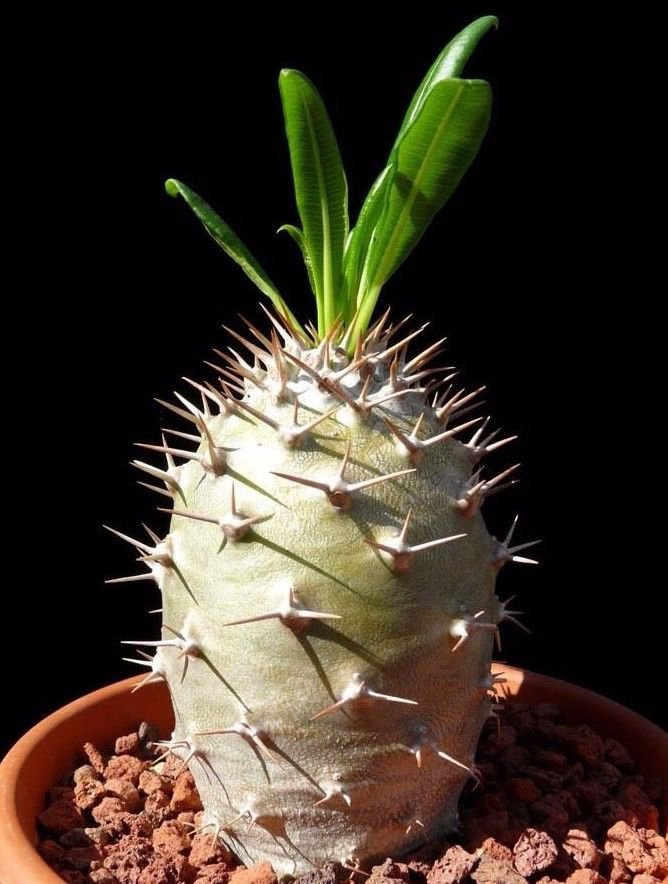 Pachypodium Lamerei Madagascar Palm 5 SEEDS  * exotic succulent * *SHIPPING FROM US* CombSH C51