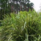 Phormium Tenax Seeds New Zealand Green flax 10 seeds Ornamental Grass *SHIPPING FROM US* CombSH I54