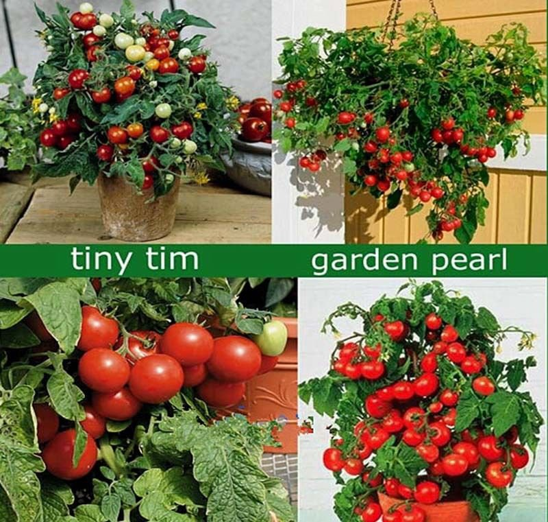Tiny Tim Tomato 50 seeds Heirloom* Non GMO * ez grow *Sweet Mini *SHIPPING FROM US* CombSH B72