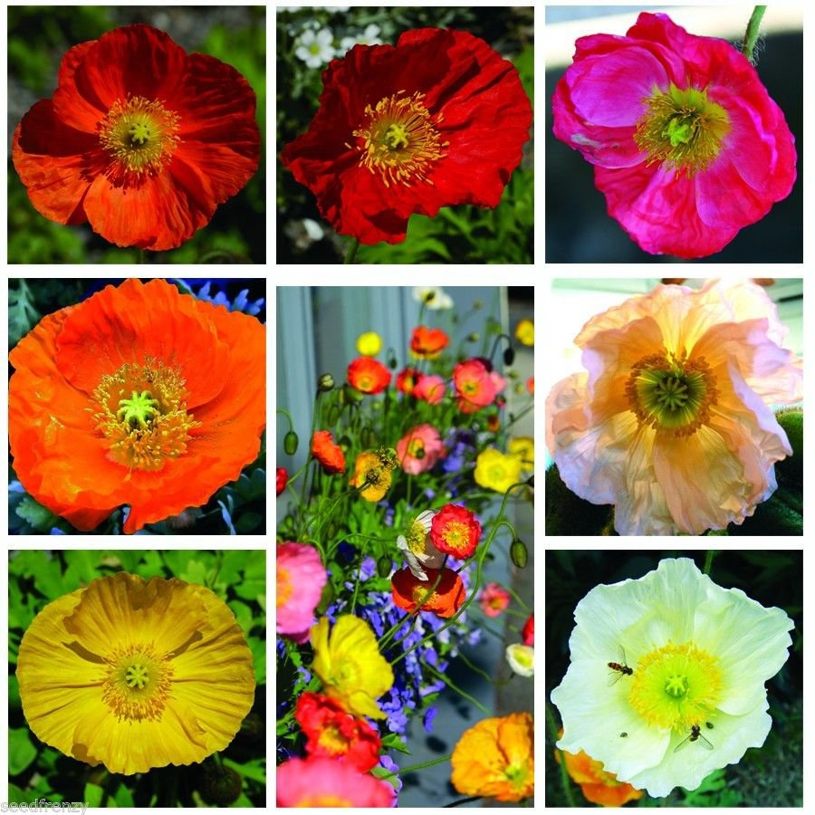 Iceland poppy mix color 1000 seeds * Lovely Garden Flowers*Easy grow* *SHIPPING FROM US* CombSH B52