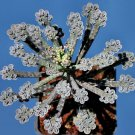 Kalanchoe Tubiflora 10  seeds * Exotic * succulents * Showy *  *SHIPPING FROM US* CombSH C53