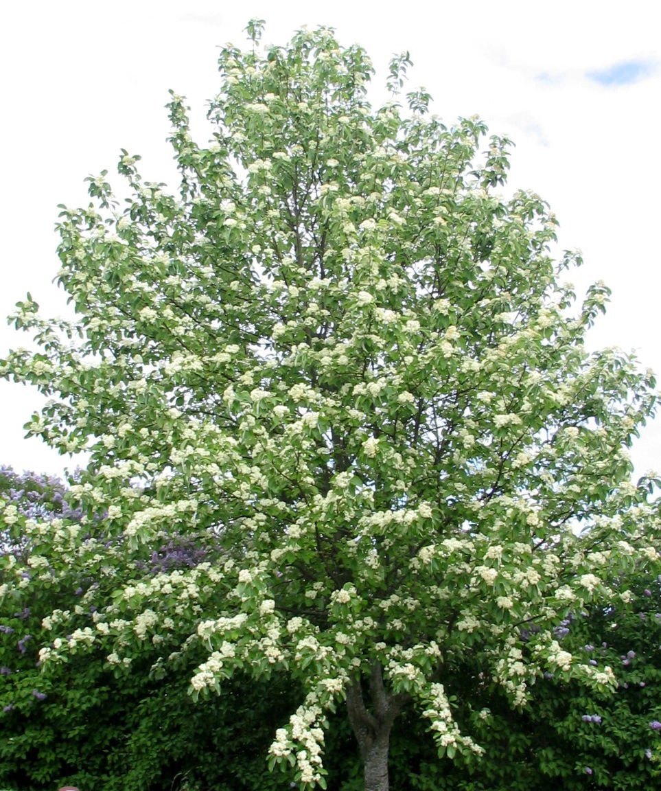 30 European Mountain ash seeds Sorbus aucuparia�Rowan Ornamental Tree *SHIPPING FROM US* CombSH