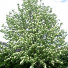 30 European Mountain ash seeds Sorbus aucuparia,Rowan Ornamental Tree *SHIPPING FROM US* CombSH