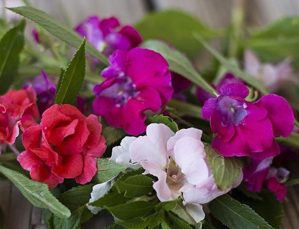Double Balsam Bush Mix 50 seeds Impatiens balsamina * Easy Grow * *SHIPPING FROM US* CombSH A88