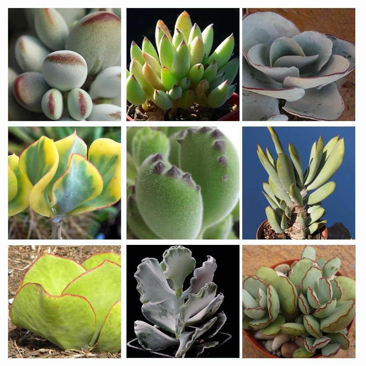 Cotyledon Mix 10 SEEDS  * Exotic Cute Rare succulent * *SHIPPING FROM US* CombSH C41