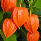 Chinese Lantern (Physalis alkekengi) 50 seeds Exotic *Showy Easy grow *SHIPPING FROM US* CombSH D52
