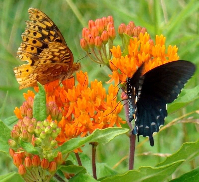Butterfly milkweed 30 seeds Asclepias Tuberosa *butterfly-attracting* *SHIPPING FROM US* CombSH B51