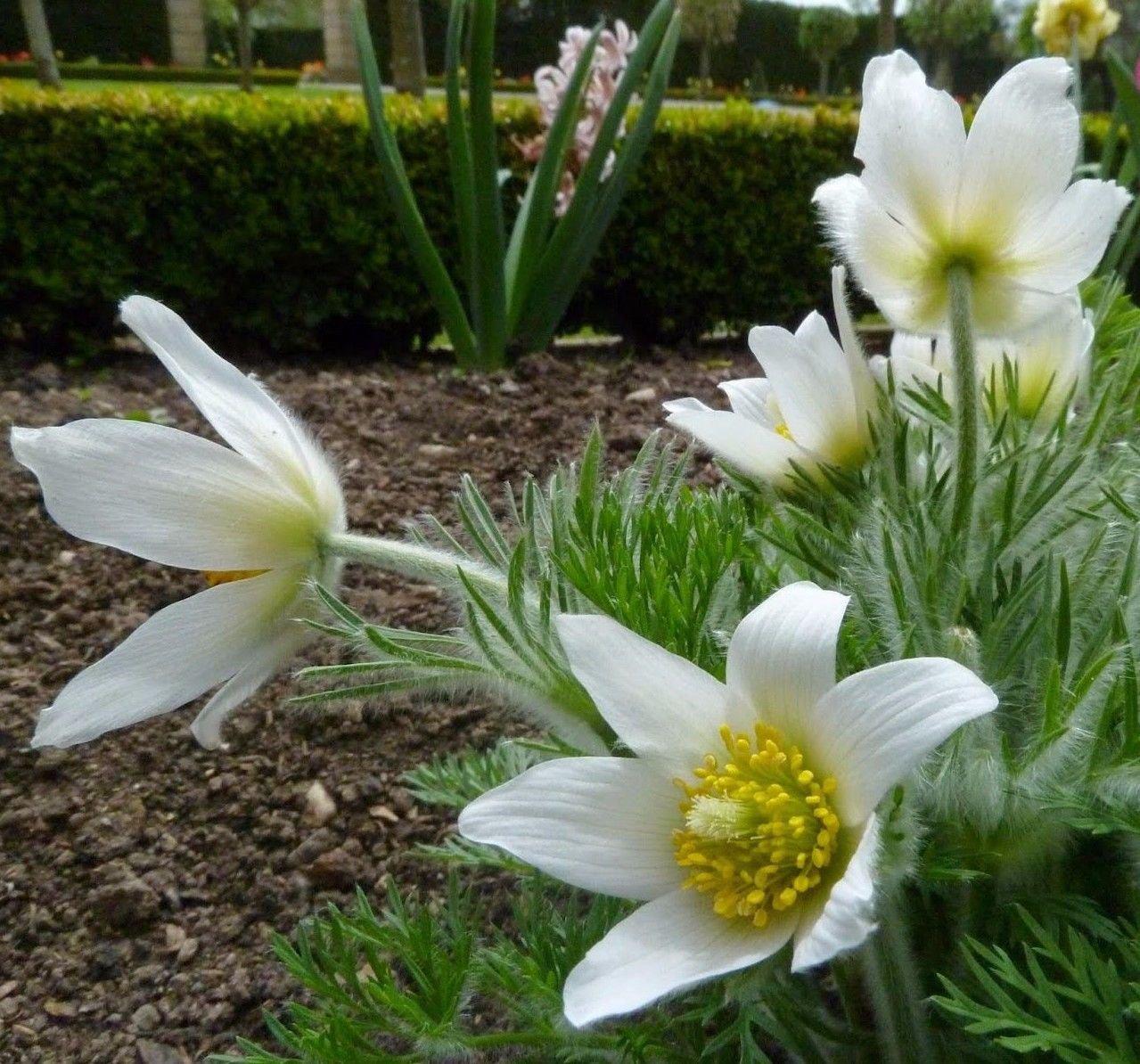 White Pasque Flower Amenone Pulsatilla Vulgaris 25 seeds *perennial* *SHIPPING FROM US* CombSH B32