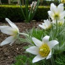 White Pasque Flower Amenone Pulsatilla Vulgaris 25 seeds *perennial* *SHIPPING FROM US* CombSH B32