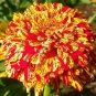 Zinnia Candy Stripe Mix 100 seeds * Unusual Color * Cut Flower * *SHIPPING FROM US* CombSH D34
