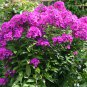 Annual Phlox Mix  100 seeds Phlox drummondii * Easy grow *  garden *SHIPPING FROM US* CombSH I36