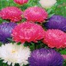 250 Aster Crego Mix 'Callistephus chinensis' seeds  Garden Flower CombSH D55