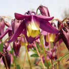 Oriental Columbine  Aquilegia oxysepala 100 seeds *garden flower* *SHIPPING FROM US* CombSH B66