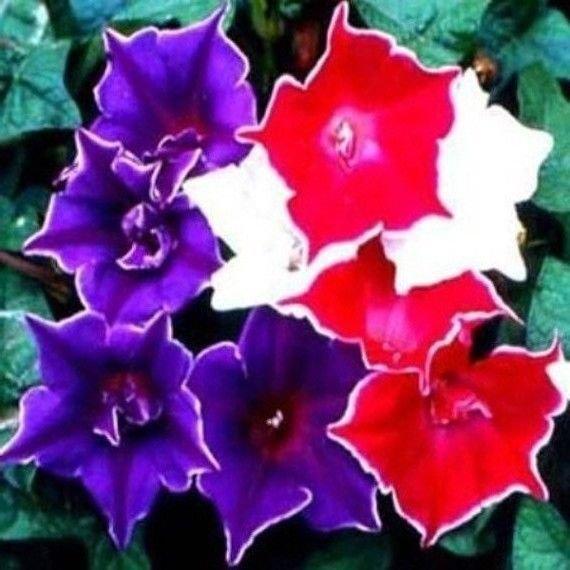 Morning Glory - Kikyo Zaki mix 5 seeds  * Easy Grow * Rare * Gorgeous *SHIPPING FROM US* CombSH D18
