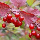10+ American cranberrybush seeds (Viburnum trilobum) Ornamental Shrub *SHIPPING FROM US* CombSH I87