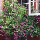 500 Petunia violacea Flower seeds wild petunia  Violet color CombSH M82