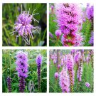 150 Purple Marsh Blazing Star Gayfeather seeds Liatris spicata Flower CombSH L33