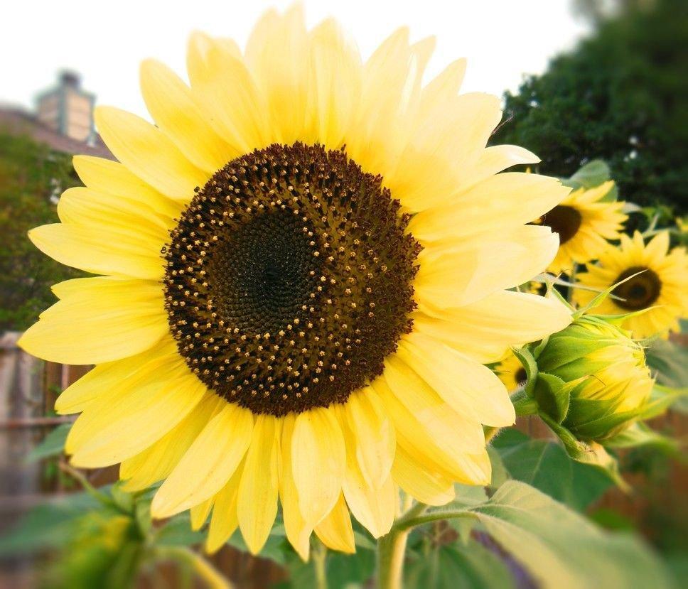 Sunflower Lemon Queen 50 seeds * Beautiful * Cut Flower * *SHIPPING FROM US* CombSH J21