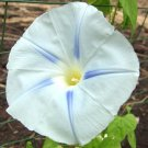 Blue Star Morning Glory 100 seeds Ipomoea Tricolor Easy Grow* *SHIPPING FROM US* CombSH