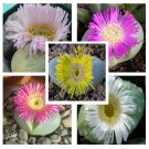 10 Argyroderma mixed seeds * Easy grow * Exotic * succulents *SHIPPING FROM US* CombSH C33