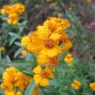 Mexican Mint Marigold Tagetes Lucida 50 seeds * Herbal Tea/Soup * *SHIPPING FROM US* CombSH B28