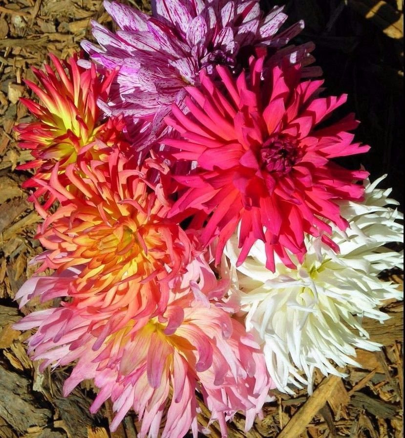 "Zinnia Super Cactus Mix 250 seeds *  Huge 6"" Flower  * Elegant * Garden * *SHIPPING FROM US* CombSH"