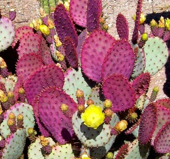 Opuntia violacea v. Santa rita 10 seeds * edible * Purple cactus * *SHIPPING FROM US* CombSH C52