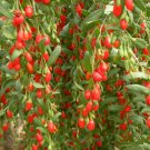 100 ~ 300 Goji Berry Wolfberry seeds (Lycium Barb 10 seed pods)*SHIPPING FROM US* CombSH B18