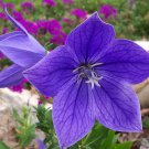 50 Blue Balloon Flower Platycodon grandiflorus Herb / Garden Flower *SHIPPING FROM US* CombSH D26