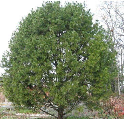 Lacebark Pine Tree 10 seeds  Pinus bungeana Ornamental  tree *SHIPPING FROM US* CombSH M46
