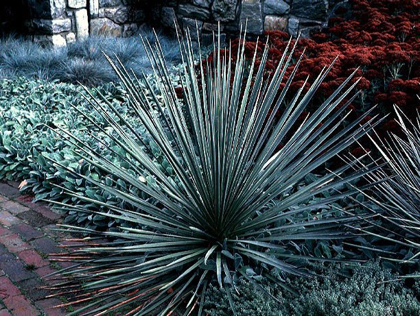 25  Soapweep Yucca seeds  yucca glauca  Ornamental Shrub *SHIPPING FROM US* CombSH I83